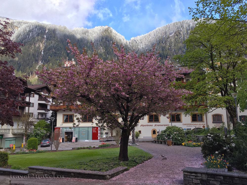 Цветение деревьев в Майхофене на фоне заснеженных гор.